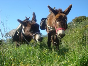 Burrotrek Esel am Gras fressen