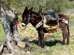 Oliven Esel - olive grove donkey