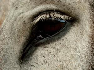 Esel Auge