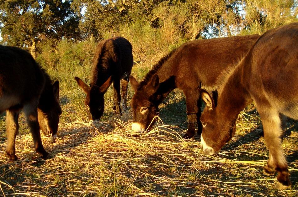 Esel am Fressen- Burros comiendo- Donkeys eating