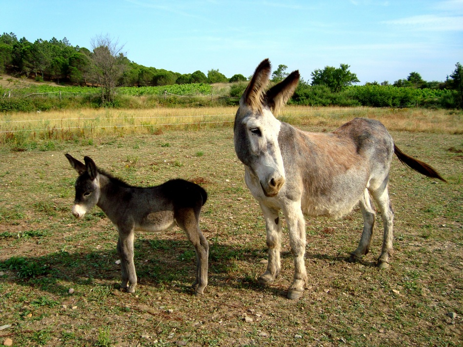 Eselbaby Yari-bebé Burro Yari- Donkey baby Yariri