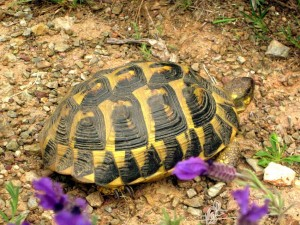 Mittelmeer Schildkröte- Tortuga mediterránea-  Mediterranean tortoise